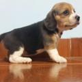 beagle criadero royal family